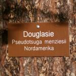 Douglasie_