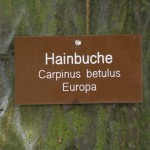 Hainbuche_