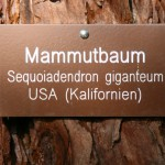 Mammutbaum_