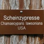 Scheinzypresse_01