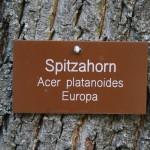 Spitzahorn__01